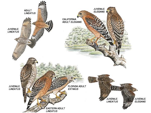 red-shouldered-hawk-17177-600x450.jpg