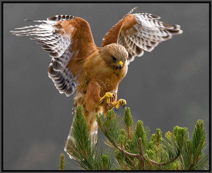 red-shouldered-hawk-awesome.jpg
