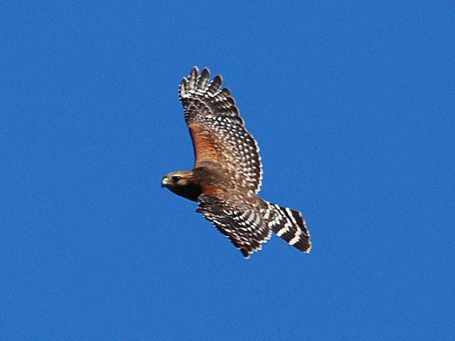 red-shouldered-hawk-everglades.jpg