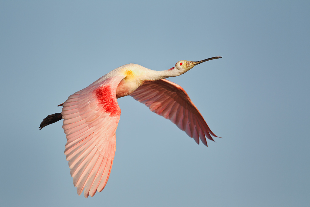 roseate-spoonbill-everglades-tours-from-miami.jpg