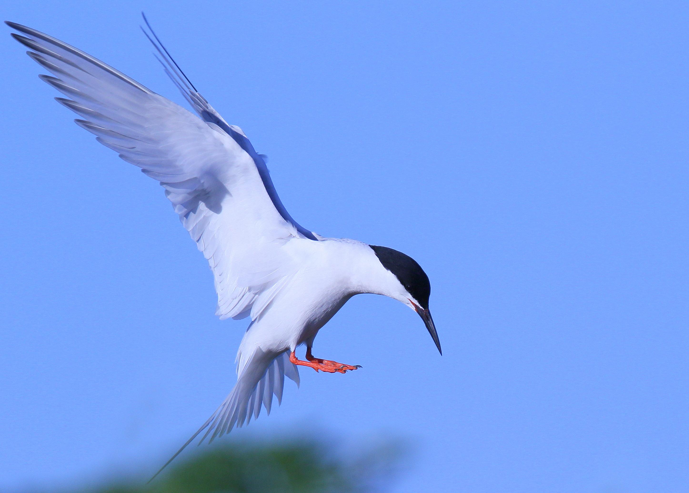 roseate-tern-bird-everglades-tours.jpg