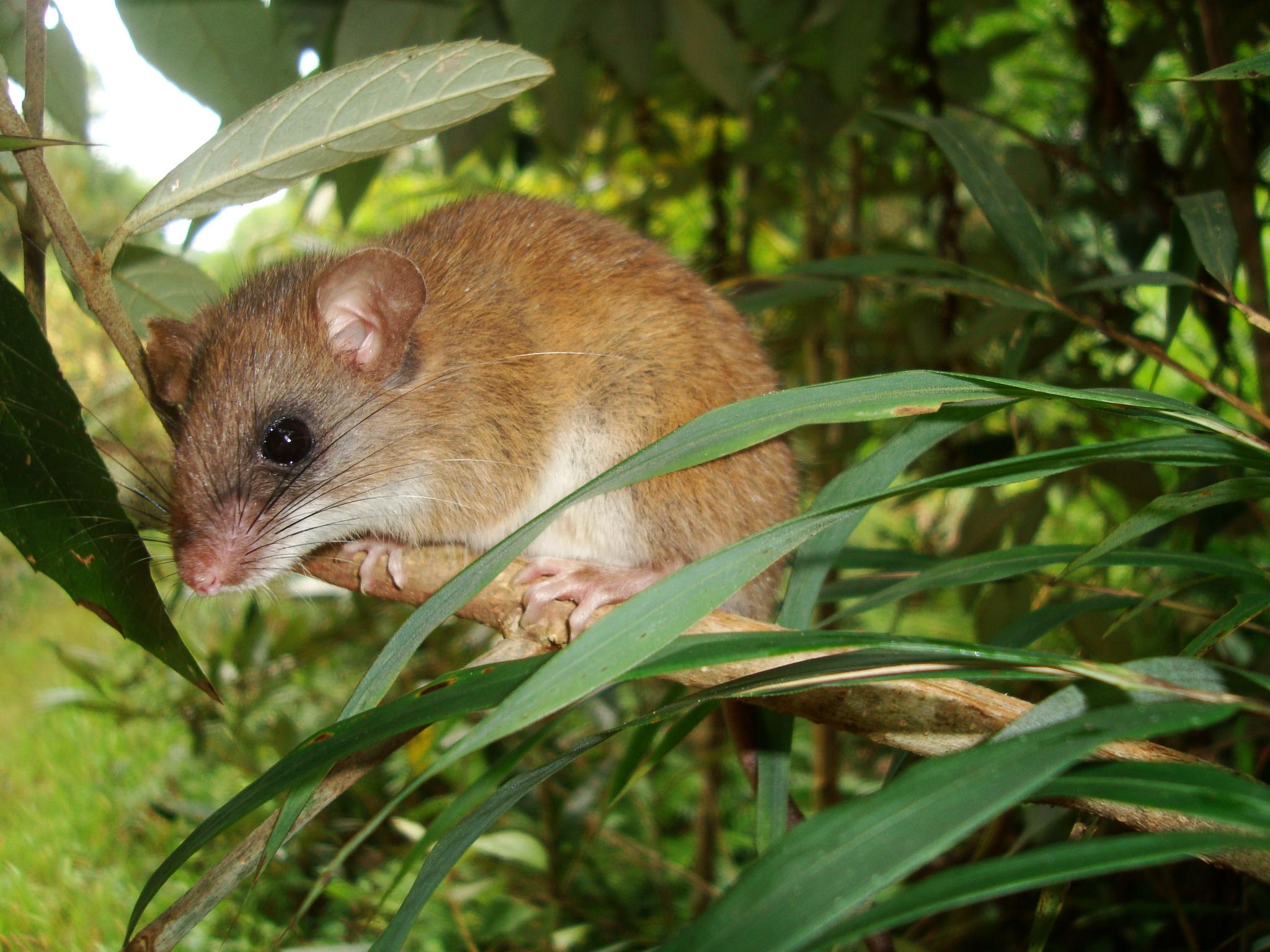 sanibel-rice-rat-everglades-tours2.jpg