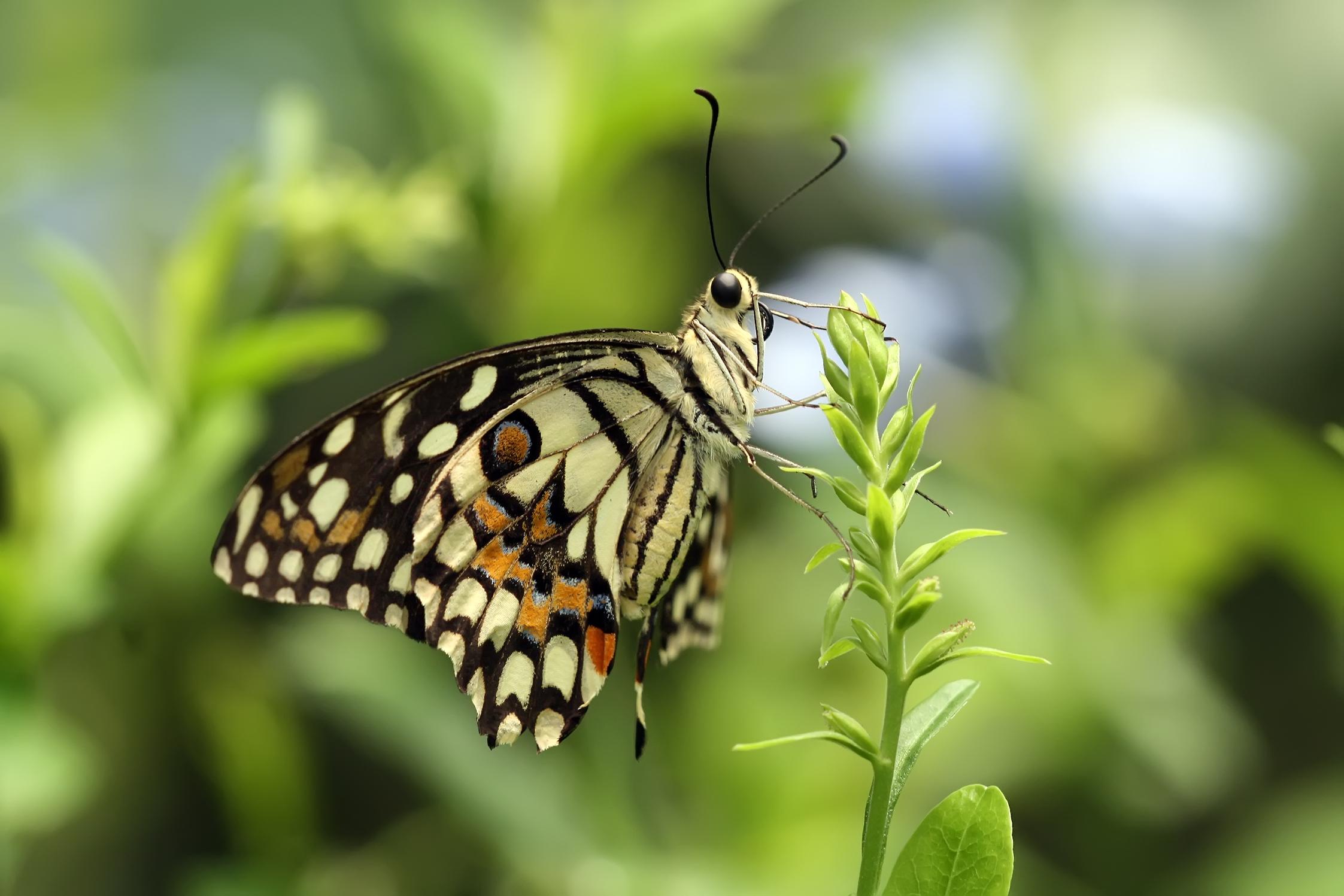 swallowtail-butterfly-everglades-tours.jpg