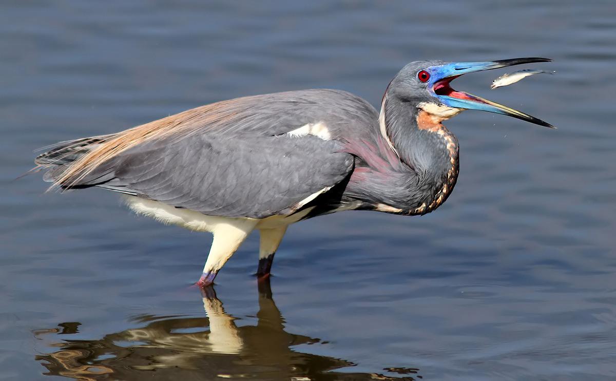 tricolored-heron-fishing.jpg
