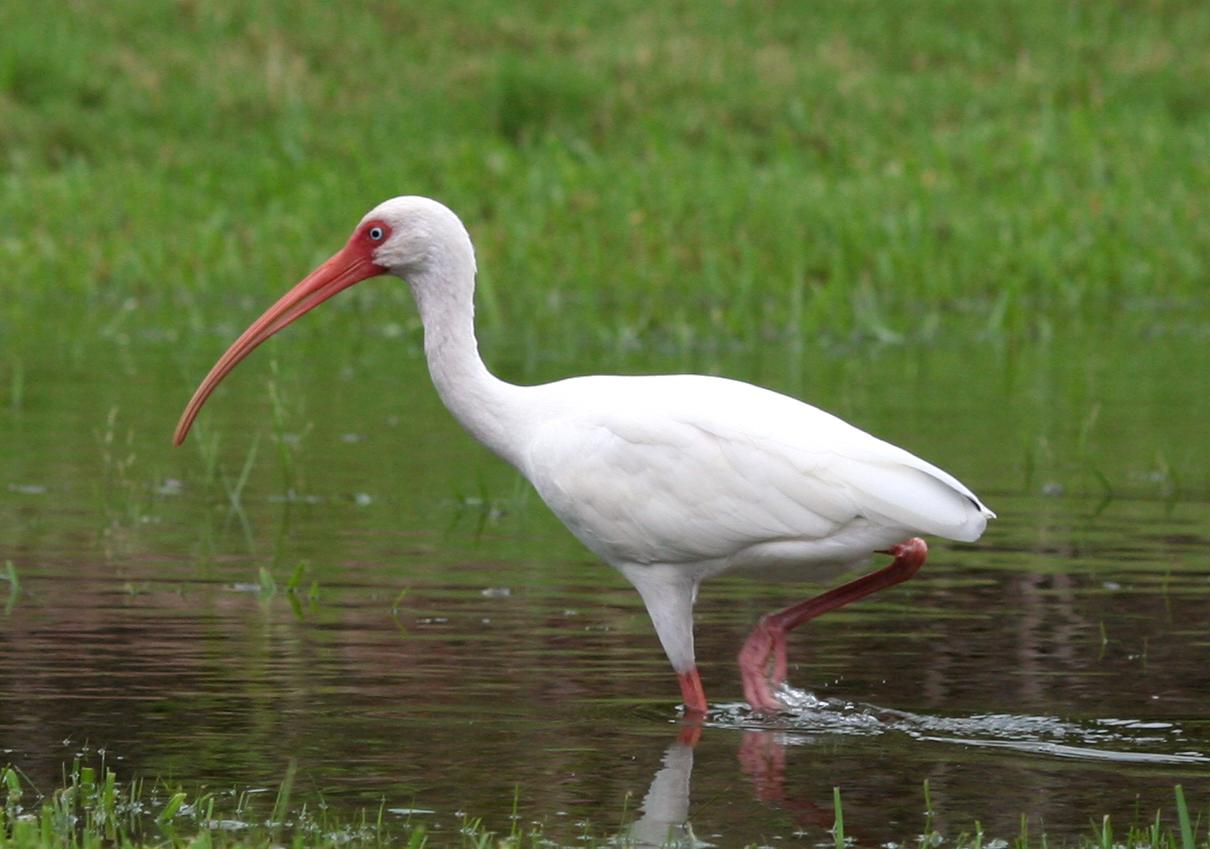 white-ibis-everglades-tours-3.jpg