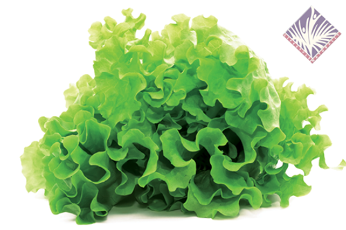 Certified Organic Green Leaf Lettuce (Each)