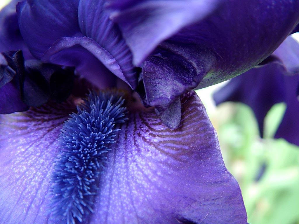 flower-blue-bearded-iris-detail-close-up-photo-112200.jpg