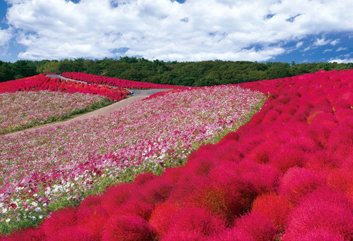 Epoch Jigsaw Puzzle 25-152 Kochia and Cosmos Ibaraki Japan (300 Pieces)