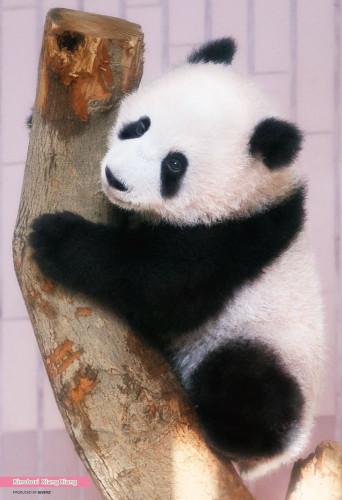 Beverly Jigsaw Puzzle L74-173 Panda Xiang Xiang (150 L-Pieces)