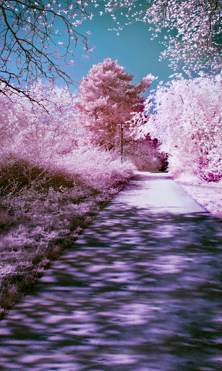 Cherry Blossom Walkway Backdrop Photo Pie