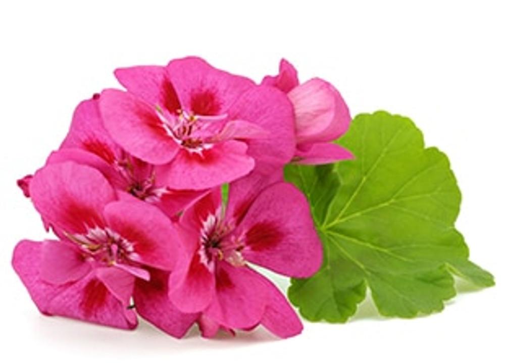 Rose Geranium Must-Have!