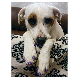 Lucy The Dog Purrdy Paws Hall Of Fame Violet Glitter Soft Nail Caps