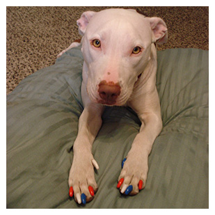 Pit Bull The Dog Purrdy Paws Hall Of Fame Usa Combo Soft Nail Caps