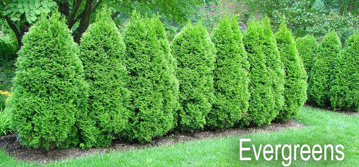 Evergreen Conifers