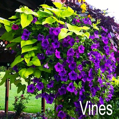 Ground Cover Vines