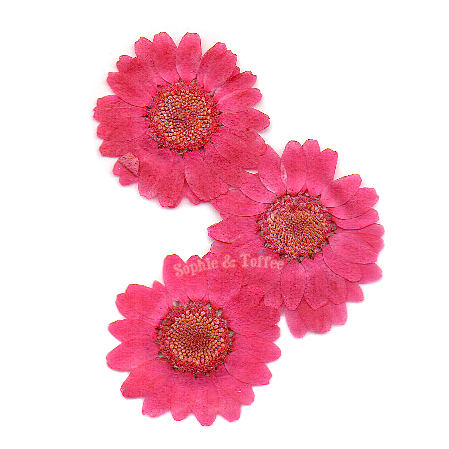 Hot pink daisy pressed real dried flowers pressed flower dried hot pink daisy pressed real dried flowers 6 pieces mightylinksfo