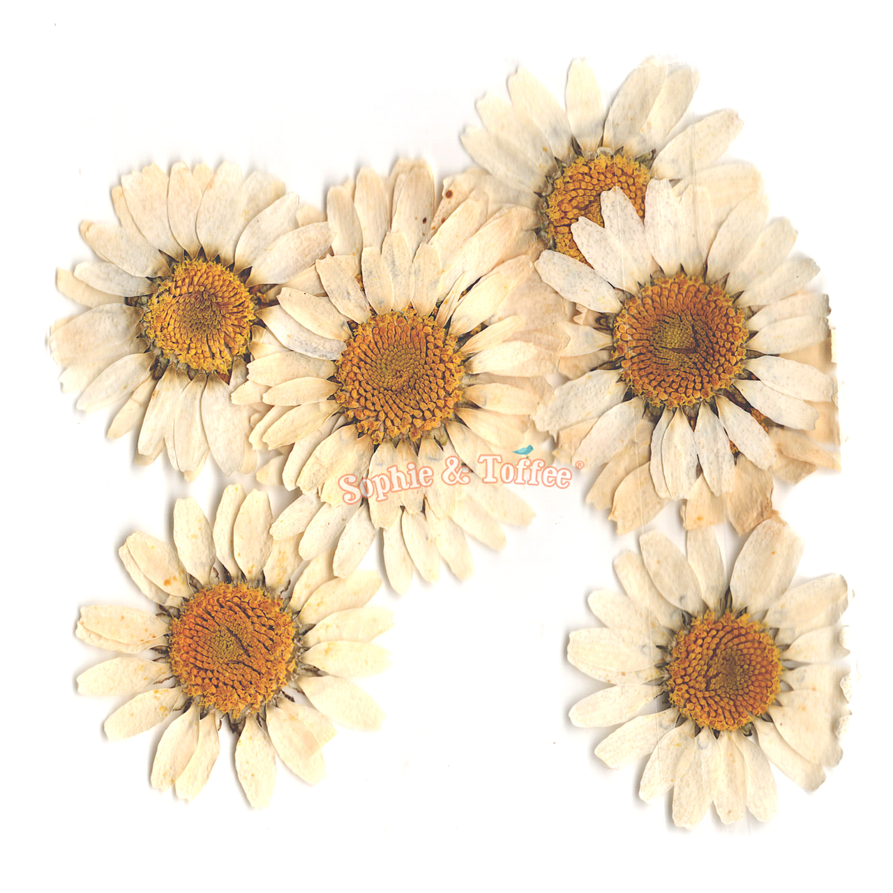 Daisy flower pressed dried real flowers pressed flower dried daisy flower pressed dried real flowers 10 pieces izmirmasajfo