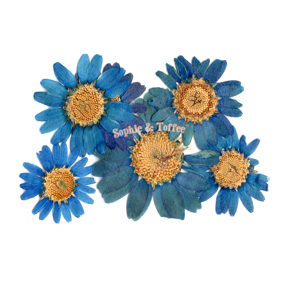 Daisy Flower Pressed Dried Real Flowers Pressed Flower Dried