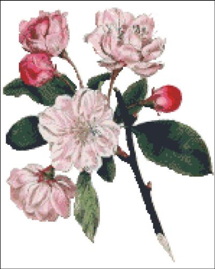 Chinese Apple Tree