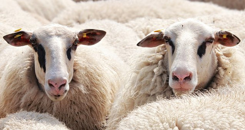 Cashmere Difference: a Comparison of Natural Fibers