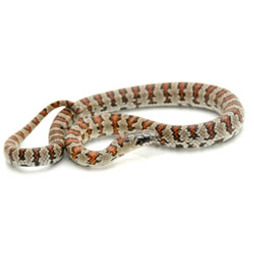 Snakes for sale - King Snakes for sale - Page 4 - Reptmart com