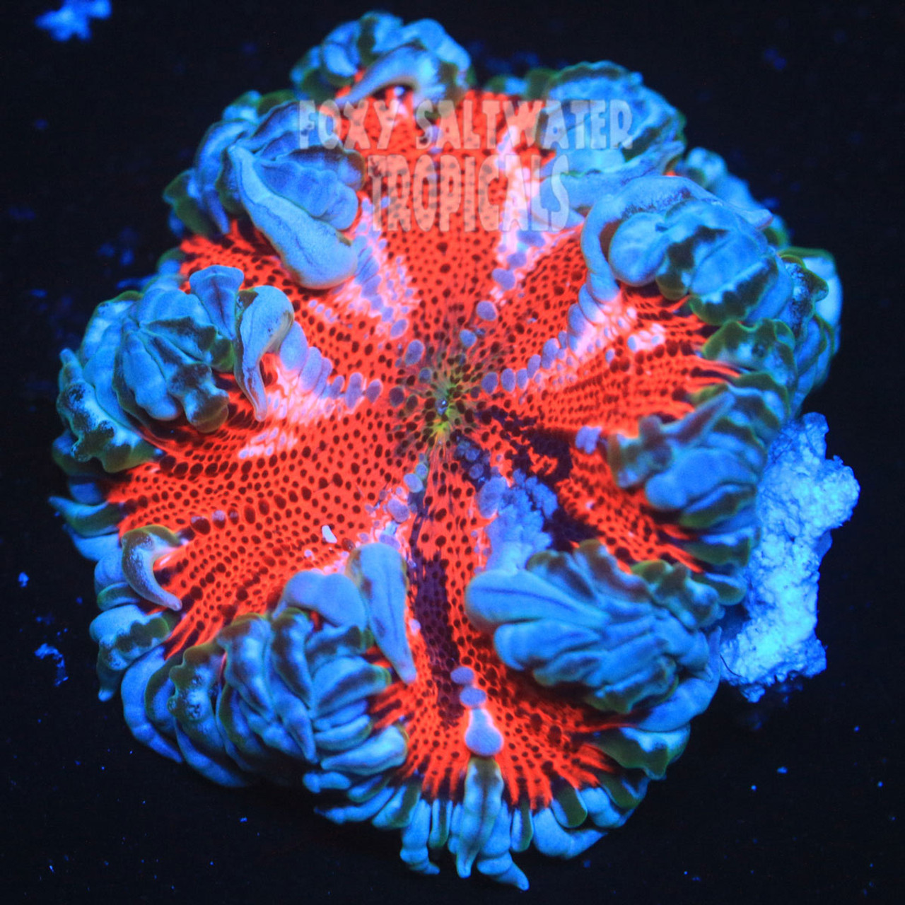 Blood Red White Lace Border Ultra Rock Anemone | Amazing Colors