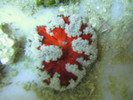 Red rock anemone with white lace border