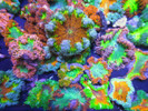Ultra Rock Flower Anemone Packs. Sea Anemone from the Caribbean.