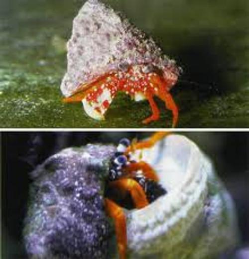White Claw Hermit Crab