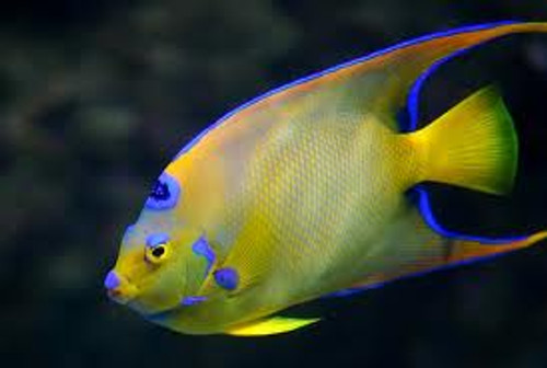 Queen Angelfish (Large 5-7 inches)