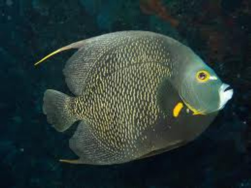French Angelfish (XL 7-8 inches)