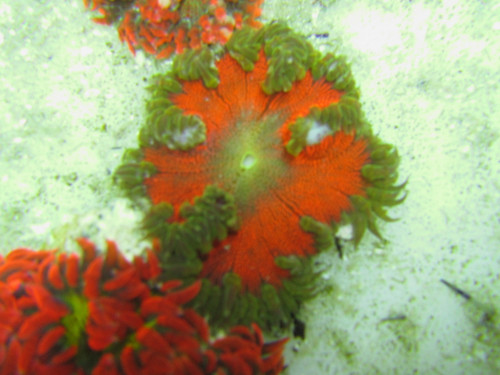Blood Red Green Lace Border Ultra Rock Anemone