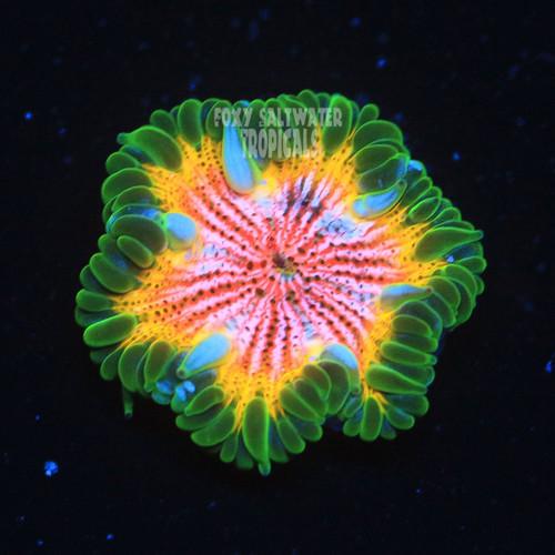 rasta or bulls eye rock flower anemone
