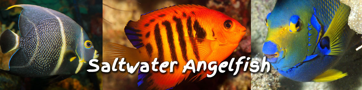 saltwater angelfish for sale