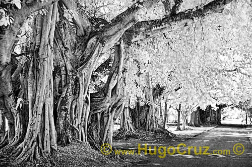 """Banyan Way"" ● Infrared Photography"