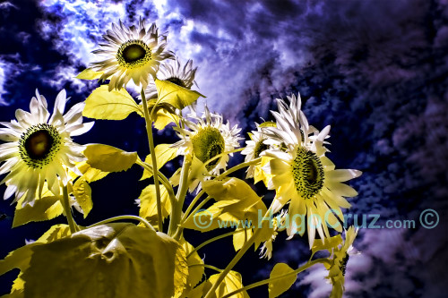 """""""Sun Blooms"""" - Infrared Photography"""