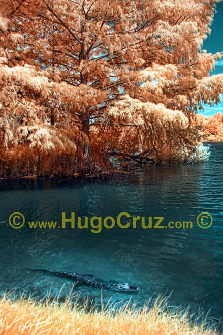 """""""Alice Gator"""" ● Infrared Photography"""