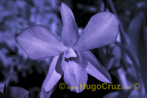 """Star Purple Orchid"" - Infrared Art Photography"