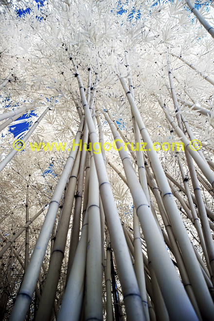 """""""Bamboo Canopy"""" - Infrared Photography"""