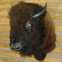 Herd Bull Buffalo Shoulder Wall Mount