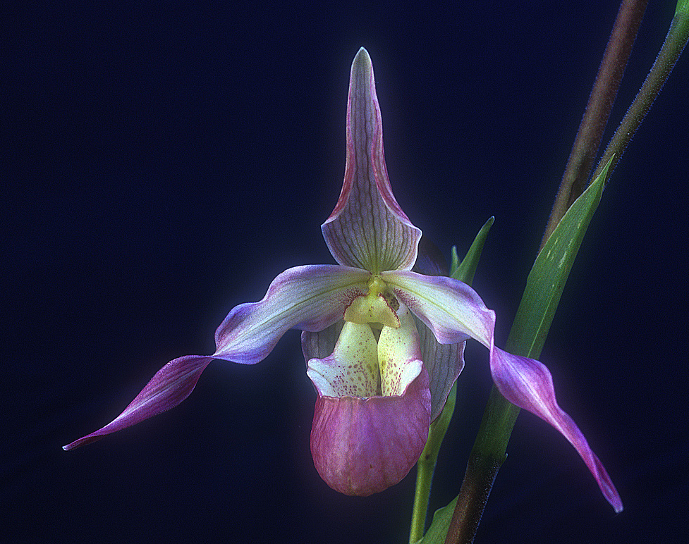 "Being in Time - Phragmipedium Ainsworthii Get the body into 3-D time. Very important to enable therapists to bring the client into contact with and stay in the lower half of the body. Helps those who are reluctant to incarnate fully into ""the here and now"". It does so by harmonising the body's etheric cycles with those same cycles in Nature. This is a calibration to a flow which helps one to manage one's time better, especially when there is the sense of having too much to do and too little time to do it in. GREAT FOR JET LAG. The body can immediately harmonise and integrate with the time-zone of the local area no matter what the distance nor direction of travel."