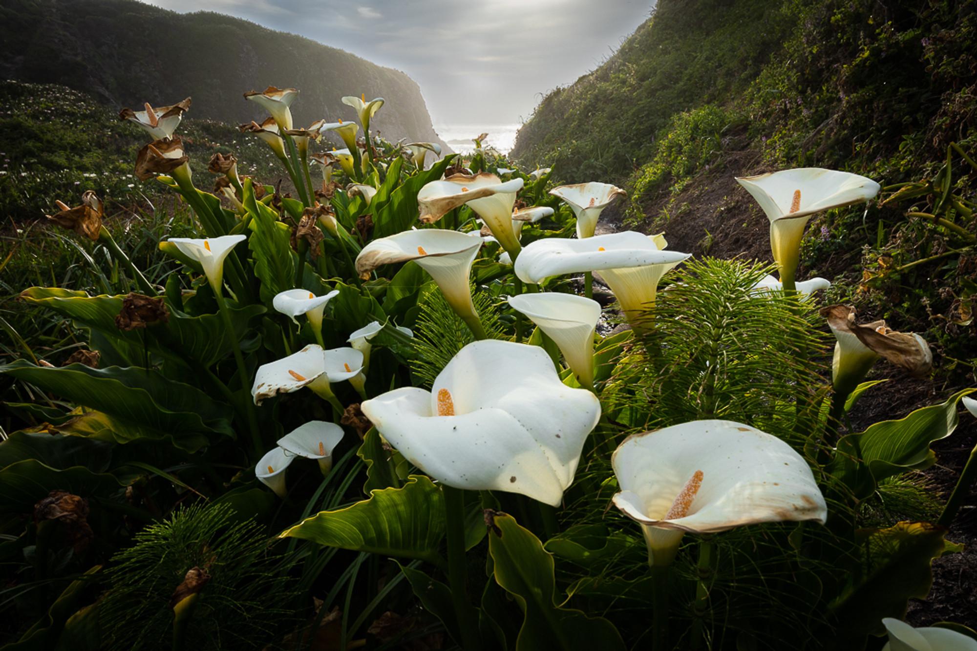 Calla Lilies Big Sur Vern Clevenger Photography