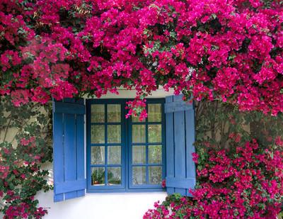 Bougainvillea and Blue Window