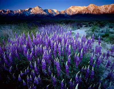 Lupine and Mt. Williamson