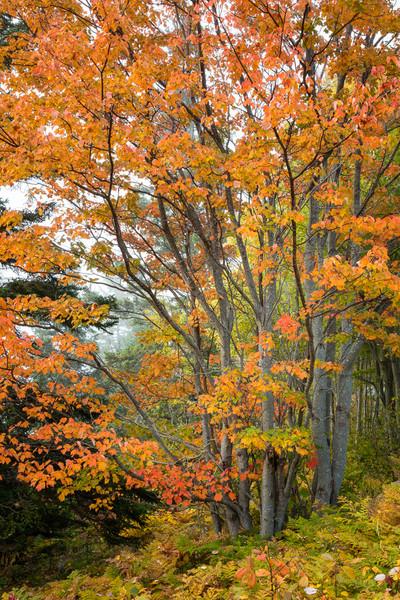 Autumn Color above Thunder Hole