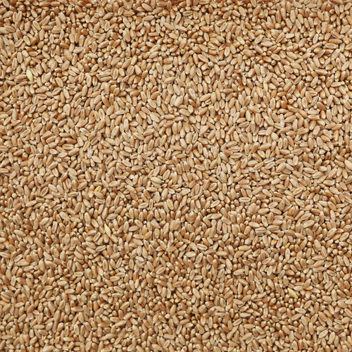 ORGANIC HARD RED WHEAT, spring/winter, kernels
