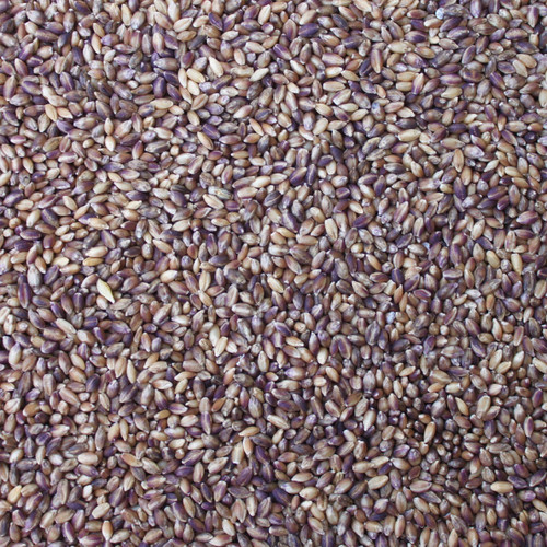 BARLEY, purple, heirloom, dehulled