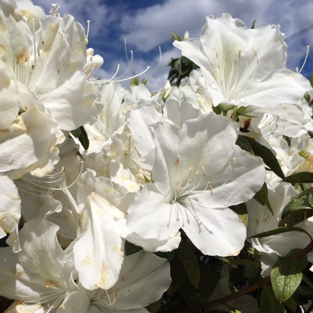 flowers-chatswood-azalea.jpg