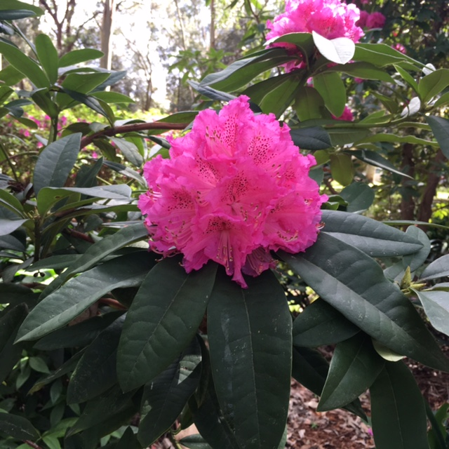 flowers-chatswood-beauchamp-park-rhododendron.jpg