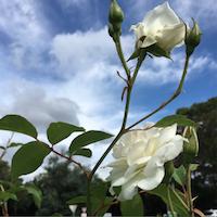 greenwich hospital rose garden
